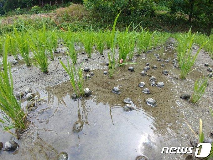 국내 대표 친환경농법 가운데 하나였던 '우렁이농법'이 25년 만에 퇴출위기에 놓였다. 왕우렁이가 투입된 논. © News1