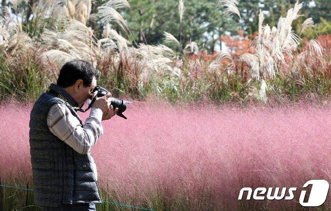 전북 전주수목원을 찾은 한 시민이 만개한 핑크뮬리와 갈대, 억새 등을 보며 사진을 찍고 있다. /뉴스1