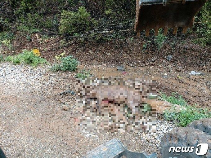 지난 13일 단양양군폐기물종합처리장에 반입된 멧돼지 폐사체가 훼손된 체 발견됐다.(독자 제공)© 뉴스1