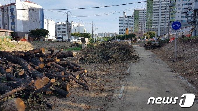 베어진 가경천 살구나무 (청주충북환경운동연합 제공) © 뉴스1