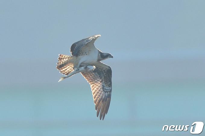 [사진] 숭어 잡은 물수리