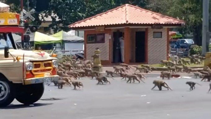 태국에서 거리를 돌아다니는 원숭이 떼. 태국 또한 원숭이로 인해 인도와 비슷한 문제를 겪고 있다. 사진은 기사와 직접적인 관련이 없음. /사진=유튜브 갈무리