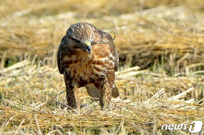 '탕' 공기총으로 보호종 철새 말똥가리 사살한 40대 벌금형