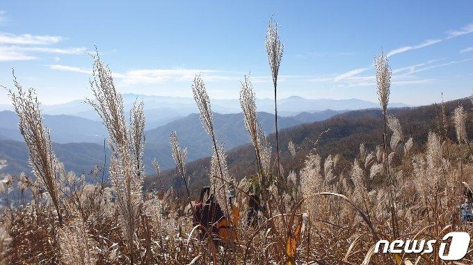 25일 전북 장수군 장안산 억새 군락지가 가을을 맞아 장관을 이루고 있다.2020.10.25/뉴스1 © News1 이지선 기자