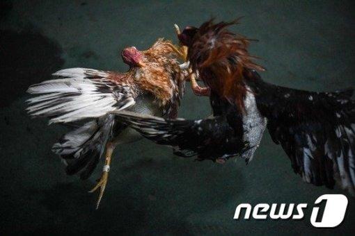 투계 현장./사진제공=AFP/뉴스1