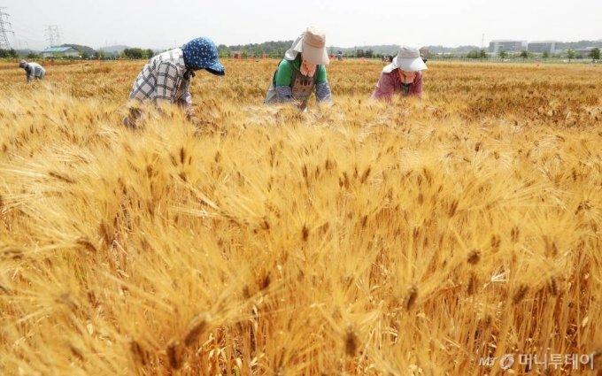 보리밭에서 황그빛으로 잘 여문 보리 수확이 한창이다. / 사진제공=농촌진흥청 국립식량과학원