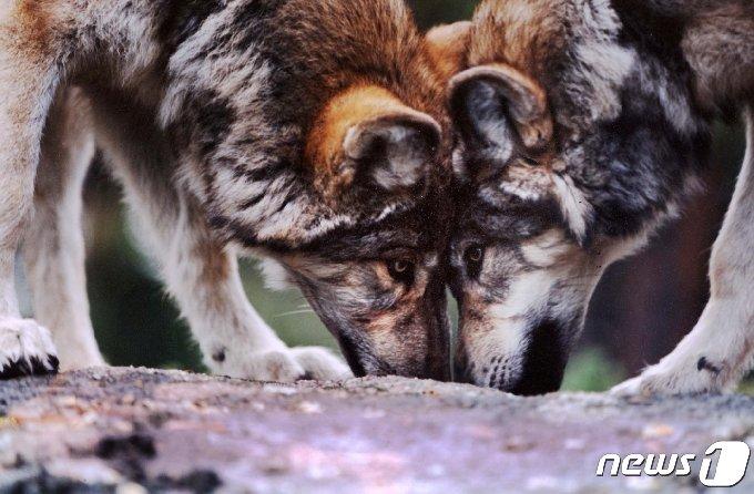 미국 콜로라도주 호수에 사는 회색늑대 한 쌍. © 로이터=뉴스1