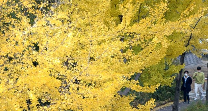 [전주=뉴시스] 김얼 기자 = 완연한 가을 날씨를 보인 2일 전북 전주시 전주한옥마을 오목대에서 시민들이 은행나무 사이로 산책을 즐기고 있다. 2020.11.02.  pmkeul@newsis.com