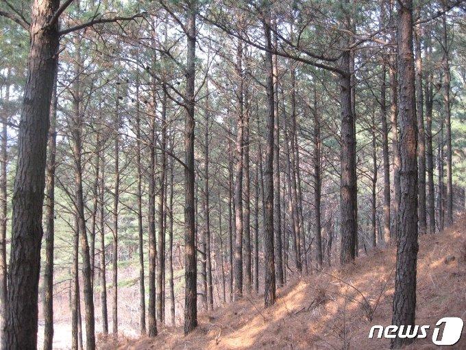 리기테다소나무림© 뉴스1