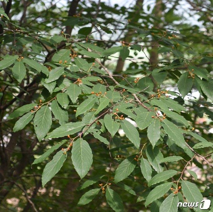 망개나무 잎 © 뉴스1