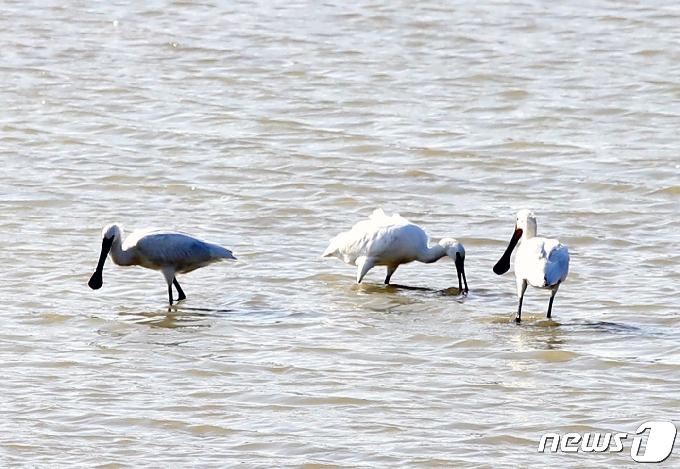 [사진] 먹잇감 찾는 천연기념물 205-2호 노랑부리저어새