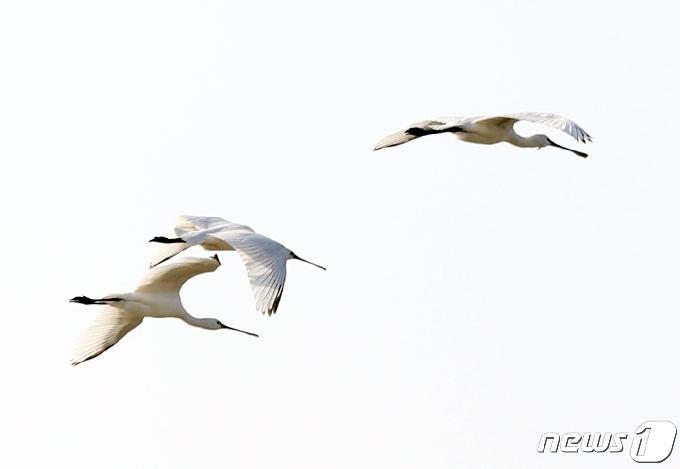 [사진] 천연기념물 205-2 노랑부리저어새의 비행