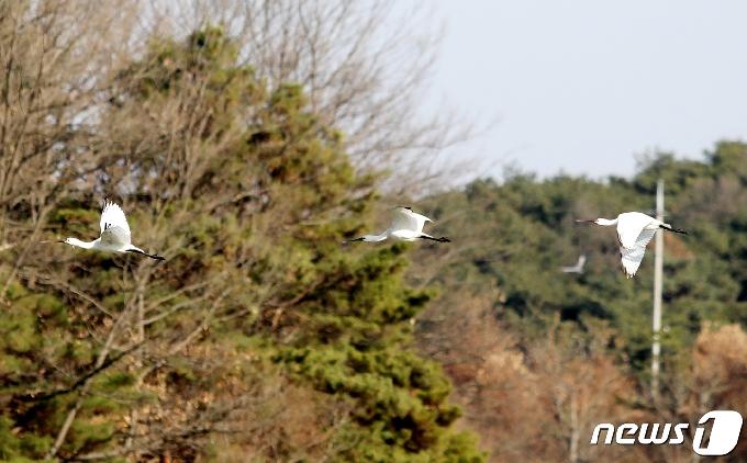 [사진] 줄맞춰 날아가는 천연기념물 205-2호 노랑부리저어새