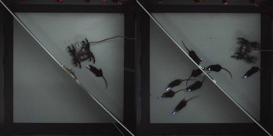 생쥐의 편도체 뇌파가 LED 빛으로 표시된 장면/사진=KIST