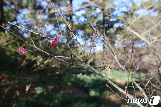 [사진] '봄의 전령사' 매화, 꽃 피우다