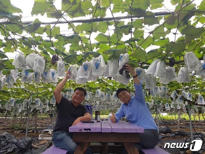포천시 소흘읍 이곡리 '종가농원'을 운영하는 이관재씨(사진 왼쪽)가 지인과 함께 농장에서 봉지를 씌운 포도를 보며 뿌듯해하는 모습. © 뉴스1