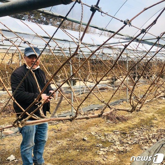 본격 농사를 앞두고 자신의 포도농장을 점검하는 이관재씨 © 뉴스1