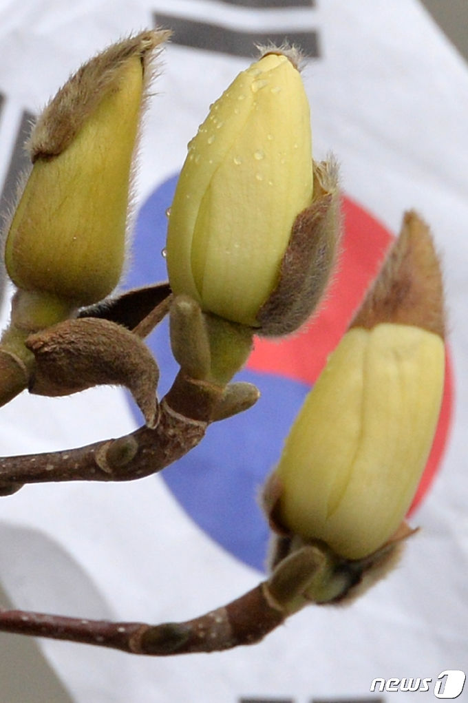 [사진] 빗방물 맺힌 목련
