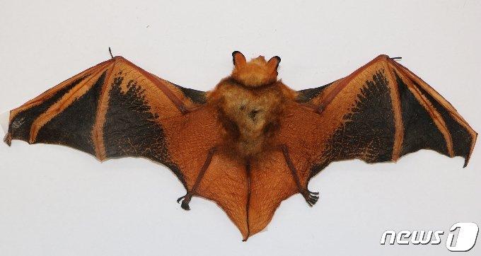 천연기념물 제452호로 멸종위기 야생생물 I급인 '붉은박쥐' 전체 사진.(광주시 제공)2021.4.2/뉴스1 © News1 박준배 기자