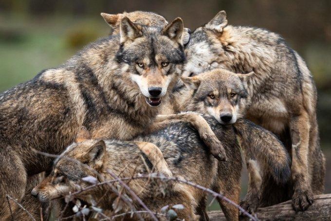 중국의 한 동물원을 찾은 관람객이 실수로 안고 있던 반려견을 늑대 우리 안으로 떨어뜨리는 사고가 발생했다. 이 반려견은 결국 늑대의 공격을 받고 숨졌다. 사진은 기사 내용과 관련 없음. /사진=게티이미지뱅크