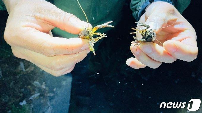 충북 청주시 서원구 산남동 두꺼비 생태공원 경계지점에서 잡힌 미국가재.(금강환경유역청 제공).2021.4.9/© 뉴스1