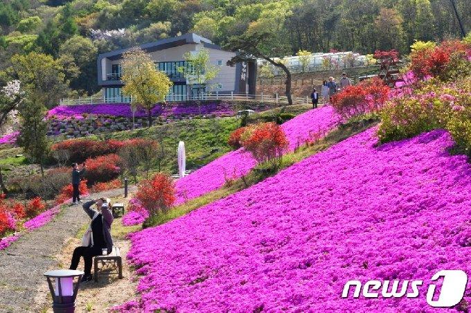 한 관광객이 순창 쉴랜드 전역에 만개한 꽃잔디를 배경으로 휴식을 취하고 있다.(순창군 제공)2021.4.13/© 뉴스1