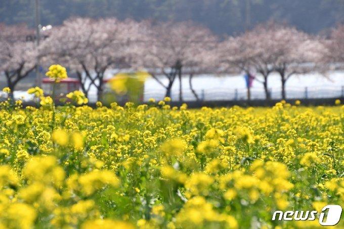 강원 삼척 근덕면 상맹방리 유채꽃밭.(자료사진) © News1