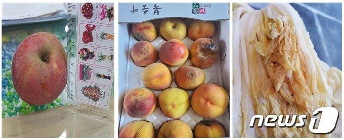 농산물 꾸러미로 배달된 불량 농산물들 (왼쪽부터 크기가 작은 사과, 상한 복숭아, 오래된 절임배추), 독자 제공 © 뉴스1