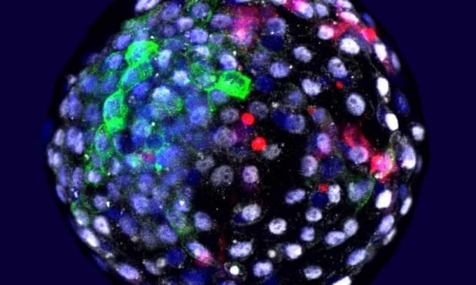 인간 줄기세포를 원숭이 배아에..과학계