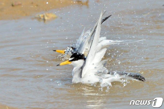 멸종위기 관심대상종인 쇠제비갈매기 한쌍이 20일 경북 포항시 북구에 있는 해안가 민물에서 목욕을 하고 있다. 2021.4.20 /뉴스1 © News1 최창호 기자