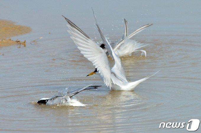 멸종위기 관심대상종인 쇠제비갈매기들이 20일 경북 포항시 북구에 있는 해안가 민물에서 목욕을 하고 있다. 2021.4.20 /뉴스1 © News1 최창호 기자
