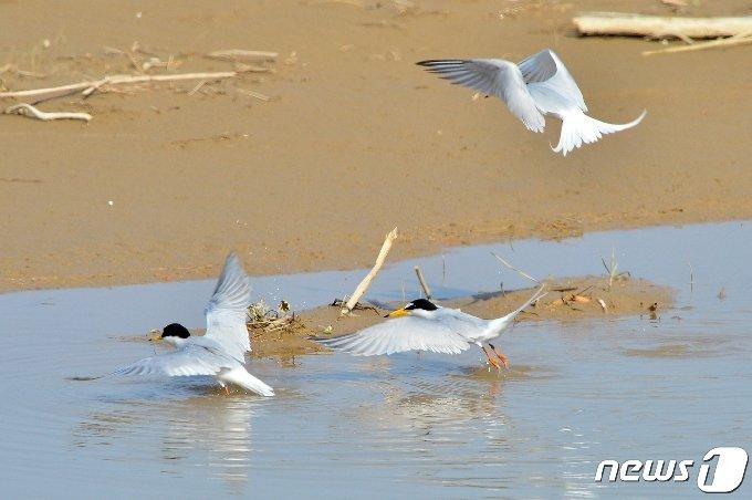멸종위기 관심대상종인 쇠제비갈매기들이 20일 경북 포항시 북구에 있는 해안가 민물로 모여들고 있다. 2021.4.20 /뉴스1 © News1 최창호 기자