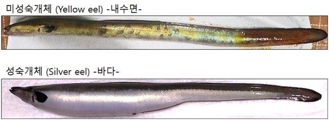 (위)민물시기 뱀장어 (아래)바다로 돌아간 뱀장어. /사진=국립수산과학원