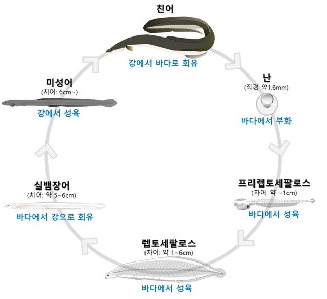 뱀장어의 생애. /사진=국립수산과학원