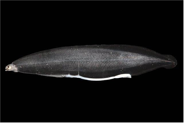 댓잎뱀장어라 불리는 뱀장어의 자어 시기. /사진=국립수산과학원