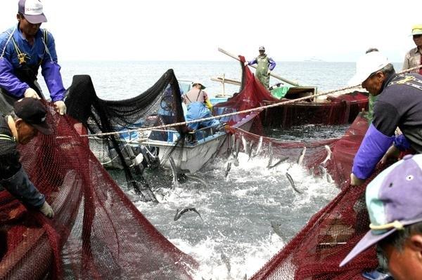 부산 가덕도에서 어민들이 육수장망(들망어업) 방식으로 숭어를 잡는 모습.  6척의 배가 팀을 이뤄 바다에 미리 설치한 그물 위로 숭어가 들어오면 일제히 들어 올려 숭어를 잡는다.  /사진=부산 강서구청