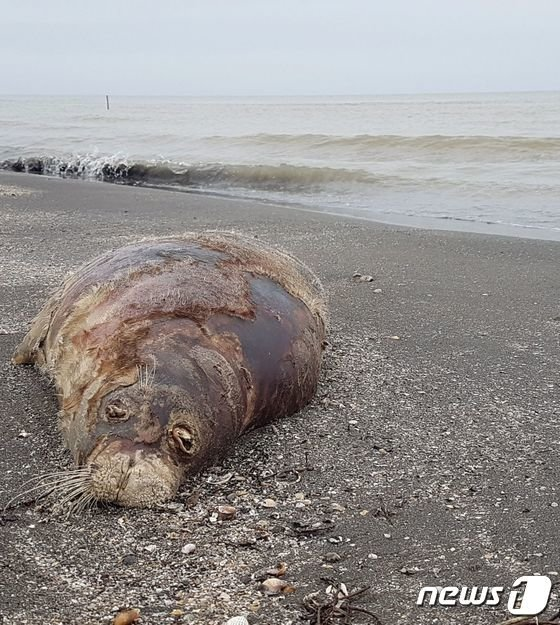 멸종 위기에 놓인 바다표범 170마리가 집단 폐사해 충격을 주고 있다. /사진=AFP/뉴스1