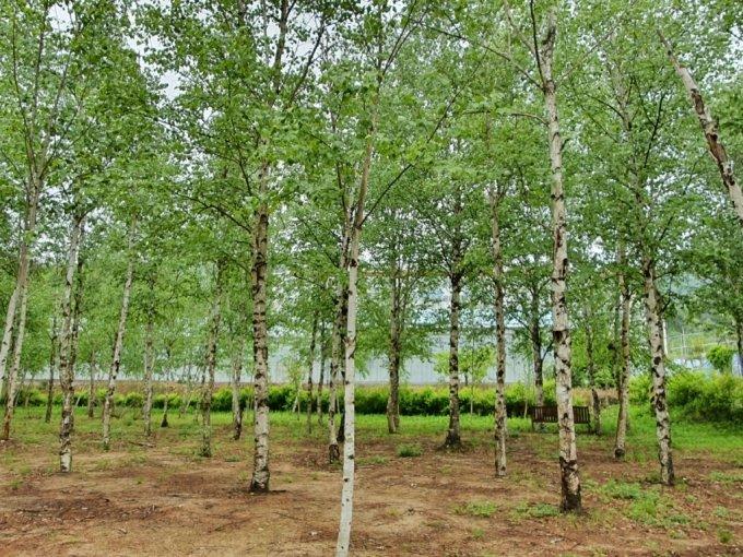 홍라희 관장의 제안으로 만들어진 자작나무 숲. /사진=최민지 기자