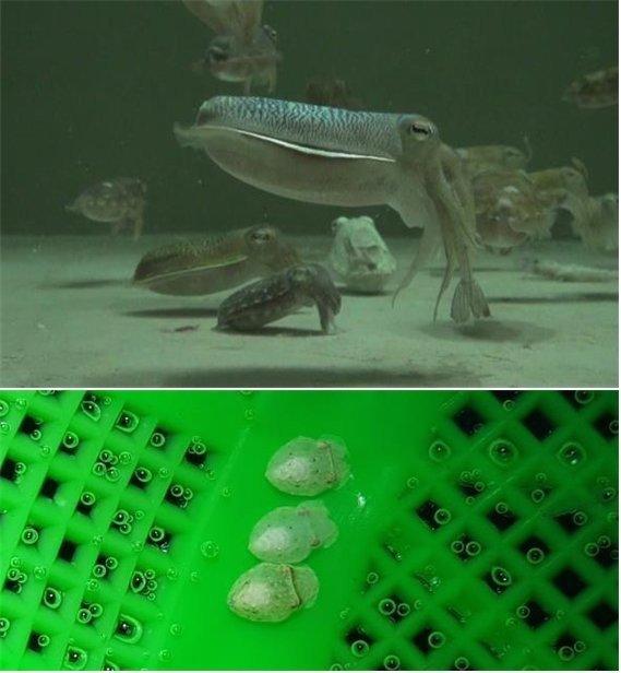 (위)부화 후 175일 된 양식 참갑오징어 어미가 새우를 잡아먹고 있다. (아래)양식 참갑오징어가 낳은 알에서 갓 부화한 2세대 어린 참갑오징어. /사진=국립수산과학원