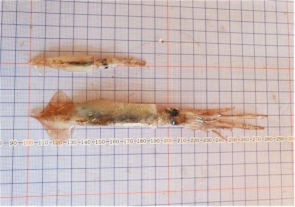 (위)금지체장인 외투장 15㎝에 훨씬 못 미치는 어린 살오징어. (아래)금지체장을 넘긴 살오징어. 사진=국립수산과학원