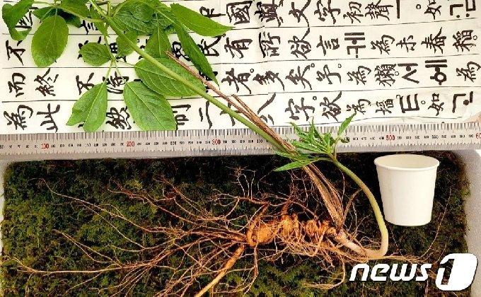 함양 덕유산 자락서 발견된 100년 넘은 천종산삼.(한국전통심마니협회 제공) © 뉴스1