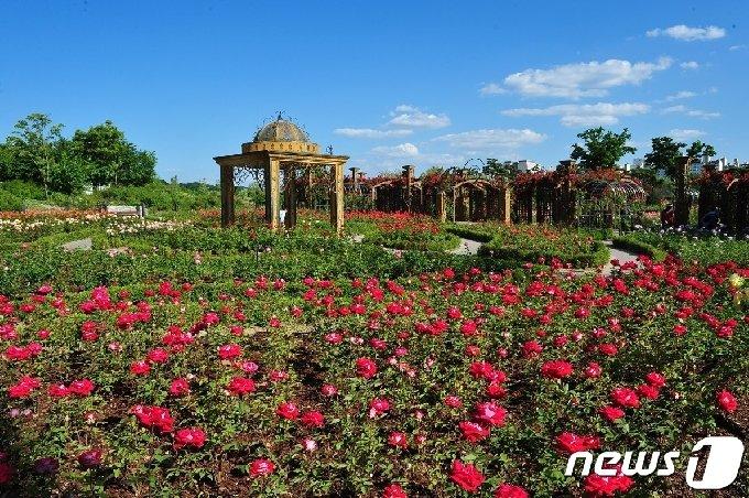 한밭수목원 장미원에는 100만 송이 장미들이 활짝 피어 있다.(대전시 제공) © 뉴스1