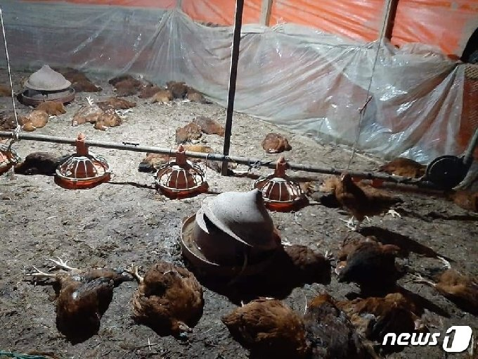 경남 김해에서 들개가 두차례나 양계장을 습격해 닭 1000여 마리가 폐사했다. 사진은 들개 피해를 당한 양계장 내부 모습. (김호대 경남도의원 페이스북 갈무리)© 뉴스1