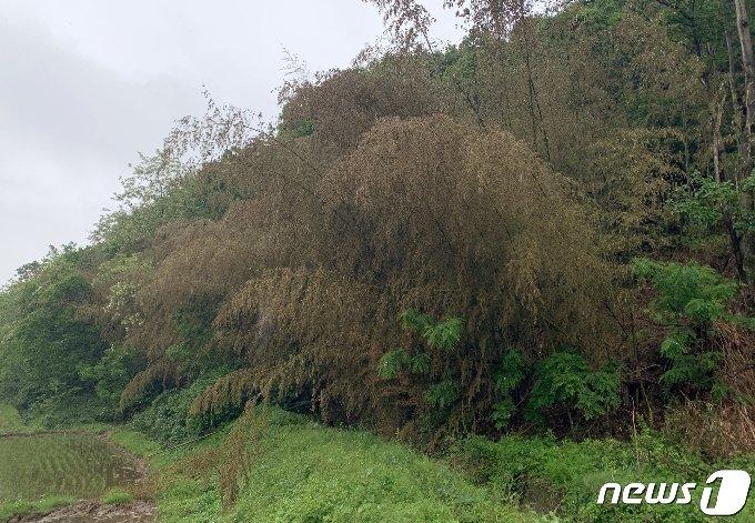 울산 울주군 두서면의 한 마을 인근에 개화한 대나무꽃. 2021.5.17/뉴스1 © News1 조민주 기자