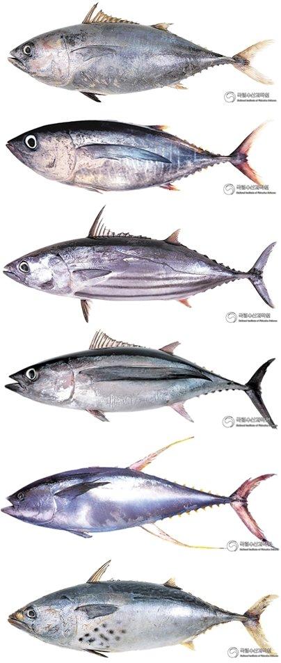 (위에서부터)참다랑어, 눈다랑어, 가다랑어, 날개다랑어, 황다랑어, 점다랑어. /사진=국립수산과학원