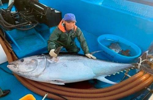 2019년 강원 고성에서 어획된 거대 참다랑어. /사진=강원도 환동해본부