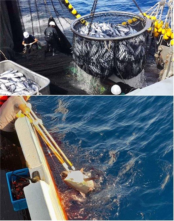 (위)선망어업으로 잡은 통조림용 가다랑어를 대형 뜰채로 퍼올리는 모습. 이 과정에서 몸에 손상이 가기도 한다. (아래)연승어업으로 잡은 참다랑어를 배 위로 끌어올리는 모습. /사진=동원산업