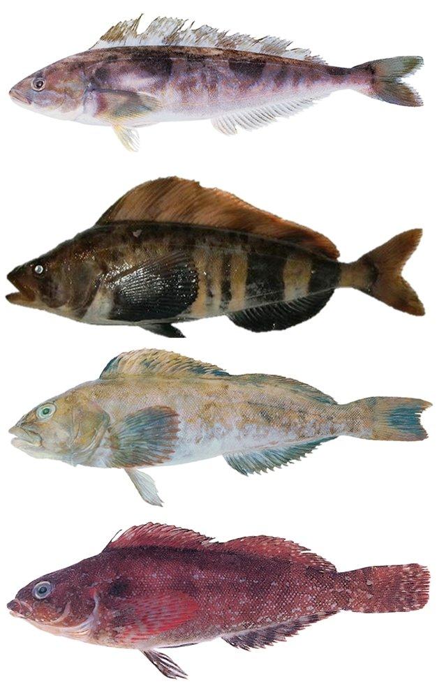 (위에서부터)임연수어, 단기임연수어, 쥐노래미, 노래미. 임연수어와 노래미는 비슷하게 생겼지만 꼬리지느러미의 패인 정도에서 차이가 난다. /사진=국립수산과학원
