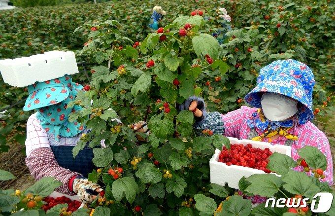청도 운문면 노지 산딸기 수확 장면 (청도군 제공)2021.6.11/© 뉴스1