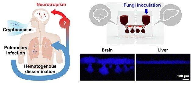 뇌수막염 유발 곰팡이의 뇌 조직 친화성 모델링 곰팡이의 뇌 친화성을 확인하기 위해 혈액-뇌 장벽으로 연결된 다중 장기 칩을 제작했다. 주입된 균이 뇌 조직 부분으로만 이동해 침투하는 신경친화성 (neurotropism)을 보이는 것을 확인할 수 있었다.(그림 제공:연세대 조승우 교수) © 뉴스1